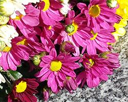 鮮やかな色の菊の献花